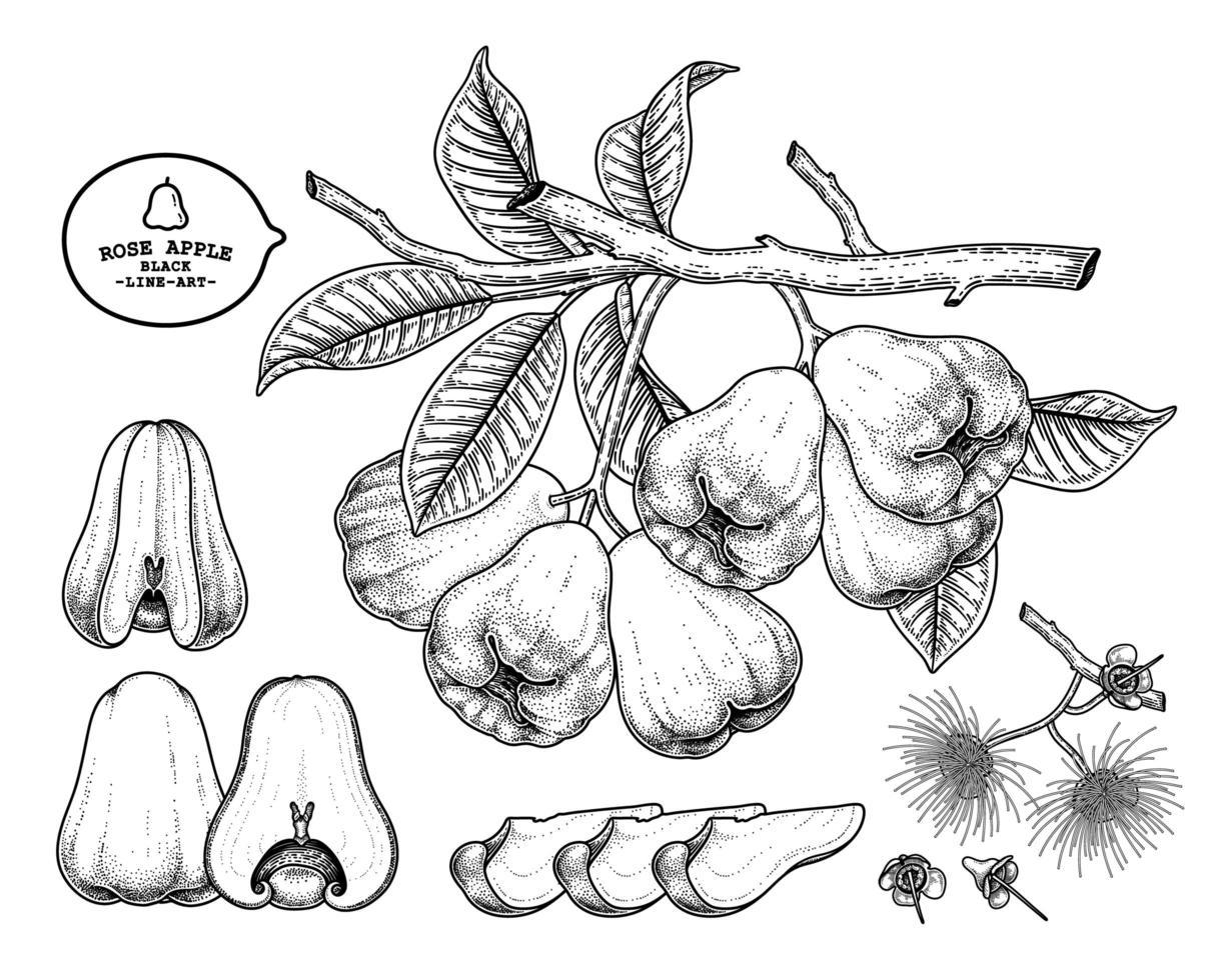 conjunto de maçã rosa frutas mão desenhada elementos ilustração botânica vetor