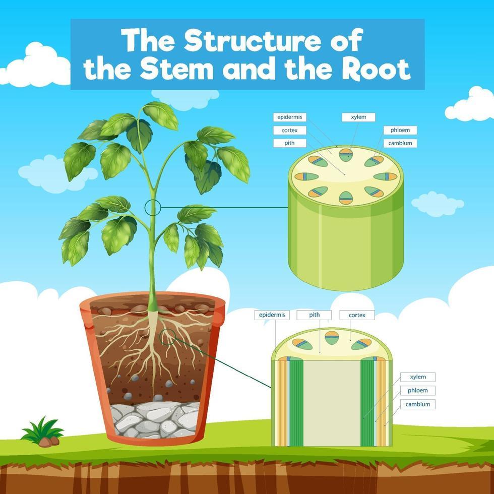 a estrutura do caule e da raiz vetor
