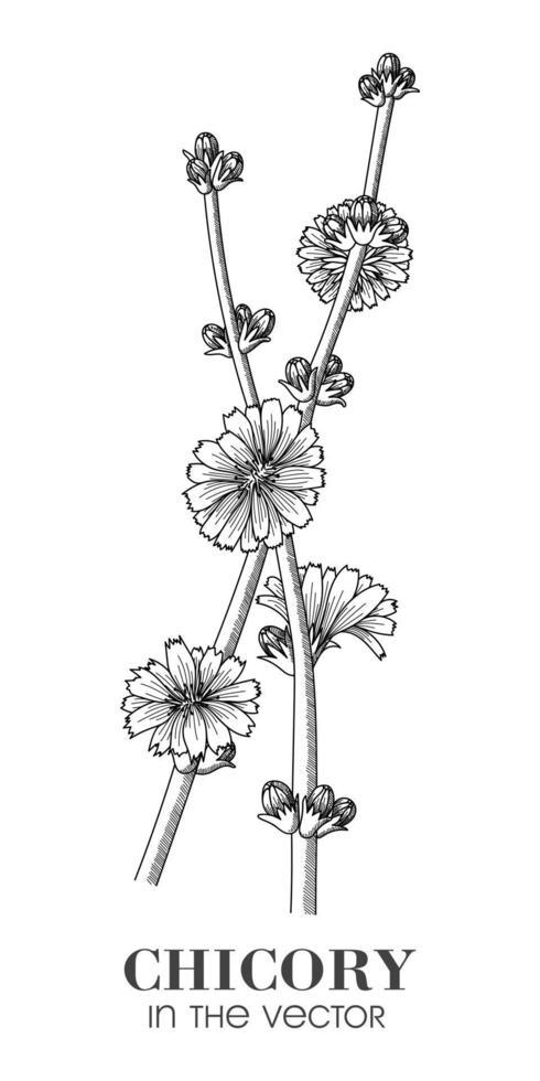 desenho de chicória em um fundo branco vetor