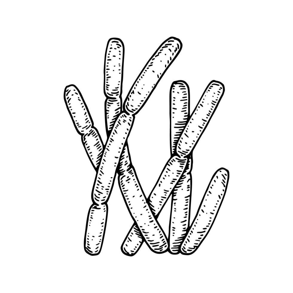 mão desenhada bactérias bulgaricus probióticas. bom microrganismo para a saúde humana e regulação da digestão. ilustração vetorial em estilo de desenho vetor