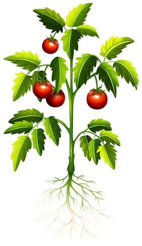 Tomate fresco na árvore vetor