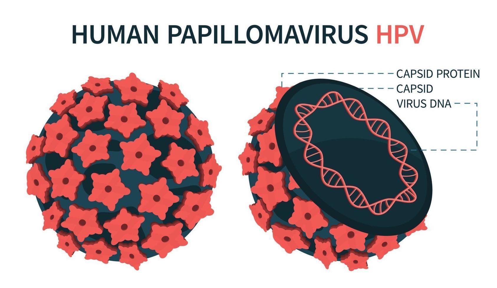 uma estrutura esquemática ampliada do vírus do papiloma vetor