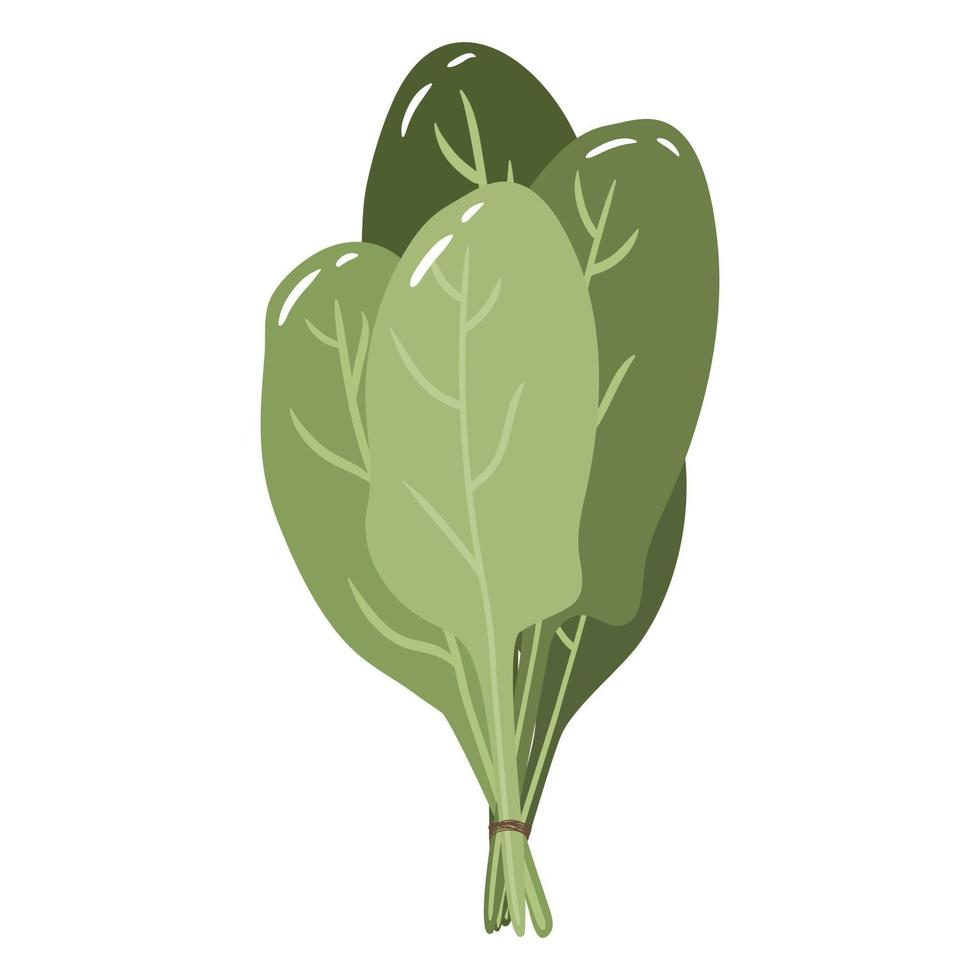 ilustração vetorial colorida de espinafre verde isolada no branco vetor