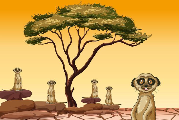 Meerkat vivendo em terra seca vetor