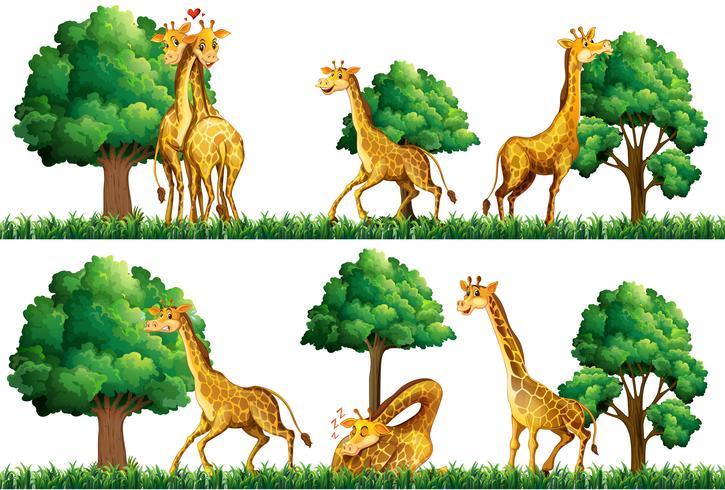 Girafas descansando no campo vetor