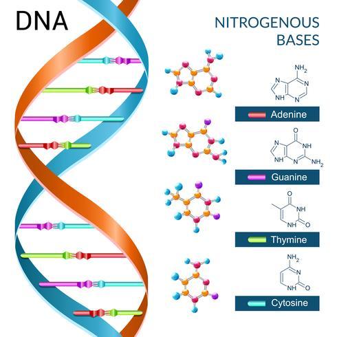 Cartaz das bases do ADN vetor
