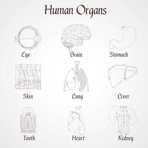 Ícones de órgãos humanos vetor