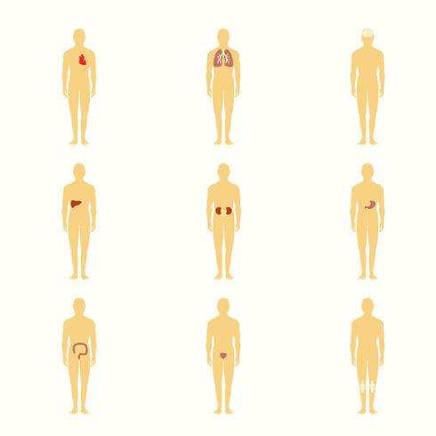 Figuras humanas com órgãos internos vetor