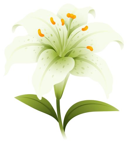 Flor de lírio branco em fundo branco vetor