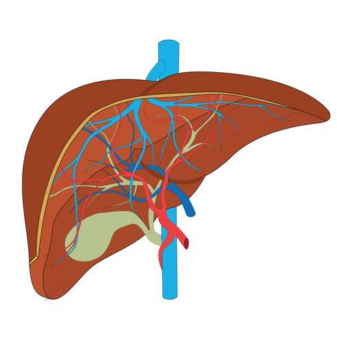 Fígado. Estrutura do fígado humano. Cientificamente preciso. vetor