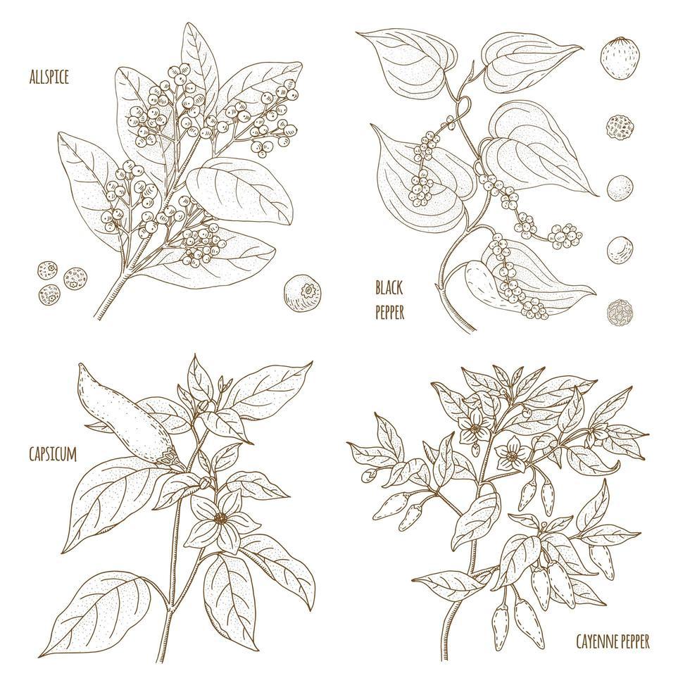 conjunto de especiarias perfumadas de pimenta vetor
