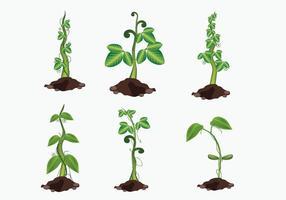 Vetor Beanstalk crescente