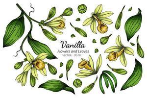 conjunto de desenho de flor e folha de baunilha vetor
