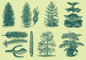 Desenho de estilo antigo Araucarias vetor