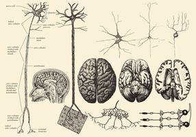 Cérebro e desenhos de neurônio