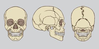 conjunto de anatomia do crânio humano vetor