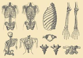 Ossos e deformações humanas vetor