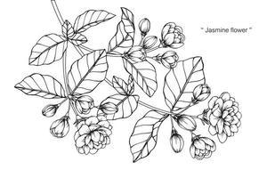 folhas e flor de jasmim botânica desenhada de mão vetor
