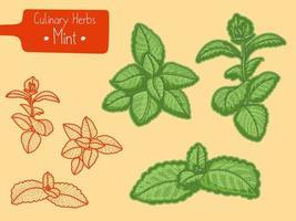 ramos de hortelã erva culinária vetor