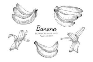 conjunto de banana de mão desenhada vetor