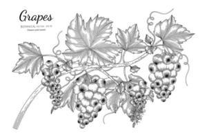 uvas desenhadas à mão vetor