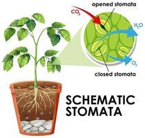 diagrama mostrando estômatos esquemáticos vetor
