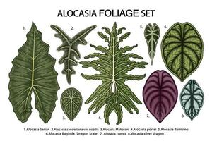 conjunto de folhas de alocasia vintage vetor