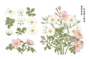 conjunto decorativo de desenhos de flores vintage rosa canina vetor