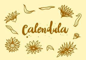 Flor de Calendula grátis