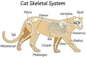 anatomia do projeto do sistema esquelético de um gato vetor