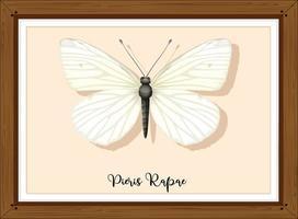 pieris rapae buttlerfly em moldura de madeira vetor