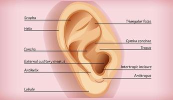 diagrama educacional da anatomia do ouvido externo vetor