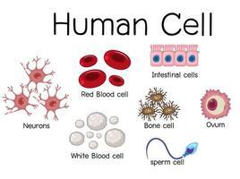 desenho de diagrama de célula humana vetor