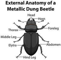 anatomia externa de um besouro de esterco metálico vetor