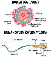 óvulo humano e espermatozóide humano infográfico de educação em saúde vetor