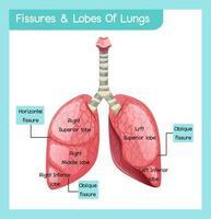 infográfico de fissuras e lóbulos de pulmões vetor