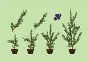 Juniper Planta Vector grátis