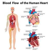 fluxo sanguíneo do coração humano infográfico de informações vetor