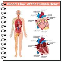 fluxo sanguíneo do coração humano infográfico de informações