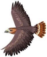 Falcão de cauda vermelha isolado no fundo branco vetor