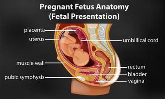 diagrama de anatomia de feto grávida vetor