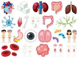 conjunto de órgãos internos humanos isolado no fundo branco vetor