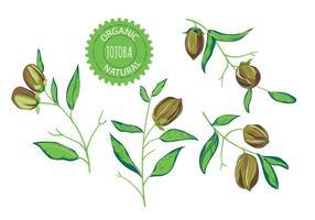Ilustrações de vetores da planta de Jojoba
