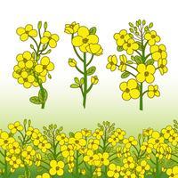 Ilustração da flor do canola vetor