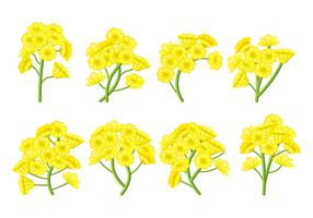 Conjunto de vetores de flores de canola