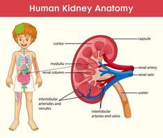 infográfico de estilo cartoon de anatomia de rim humano vetor