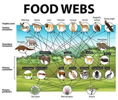 pôster educacional de biologia para diagrama de teias alimentares vetor