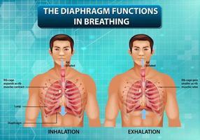 o diafragma funciona na respiração vetor
