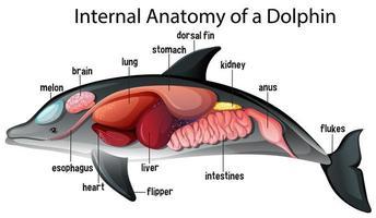 anatomia interna de um golfinho vetor