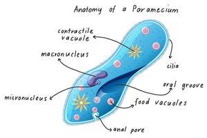 anatomia de um paramécio vetor